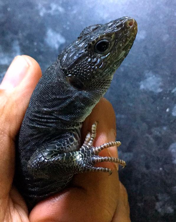melanismo en reptiles y anfibios de la península iberica