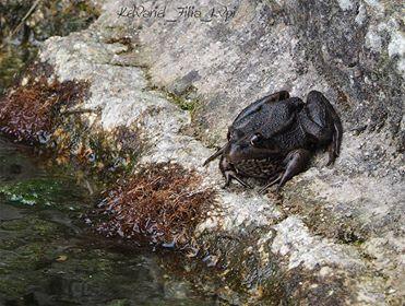 Rana común (Pelophylax perezi) melánica