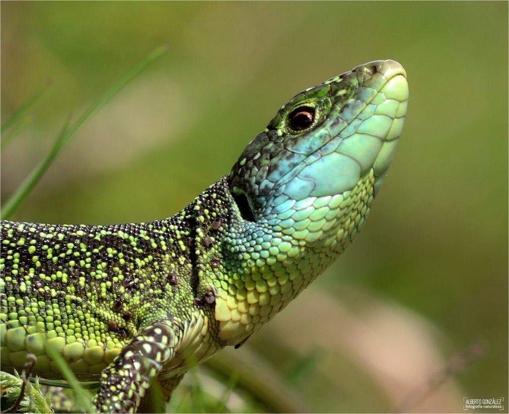 El primer plano a este lagarto verde occidental (lacerta bilineata) hace destacar su garrapatas...