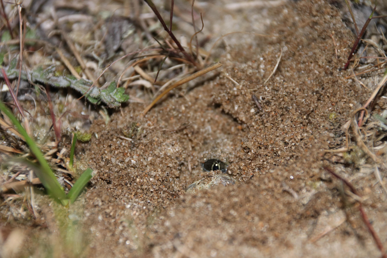 Sapo de espuelas Pelobates cultripes