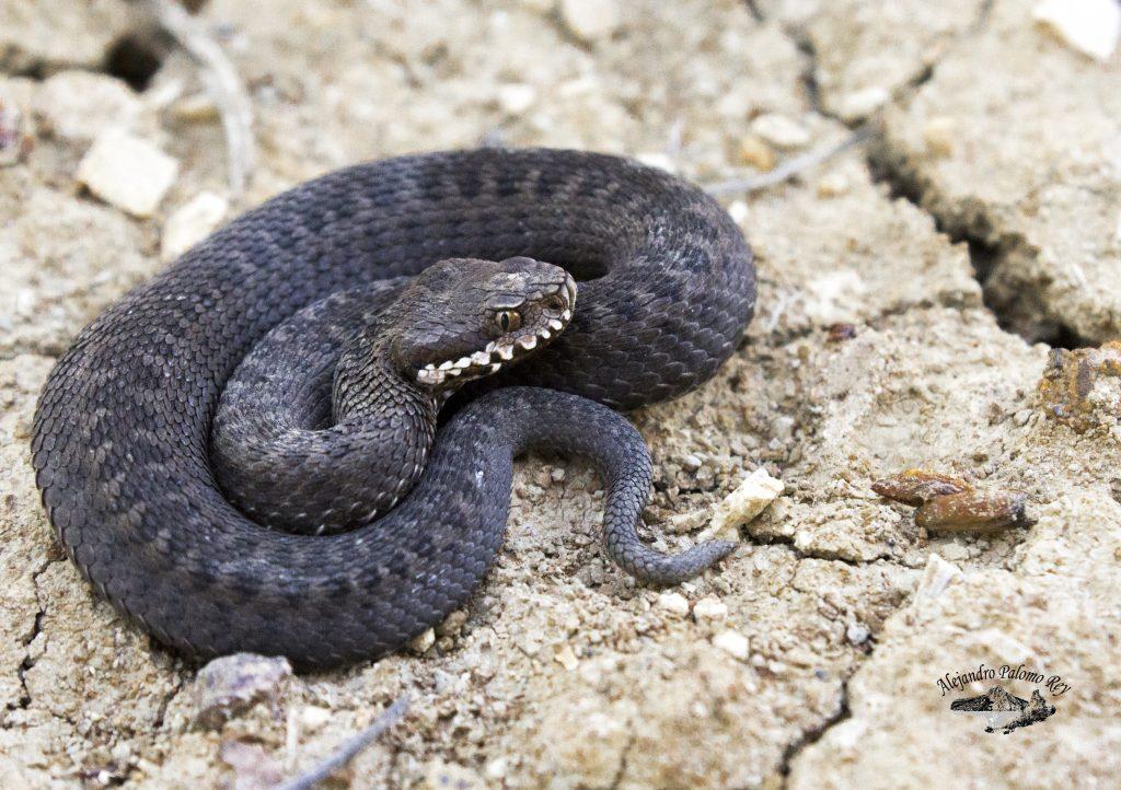 Juvenil de Víbora de seoane (Vipera seoanei) o cantábrica con un patrón oscuro.