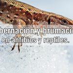 hibernacion-brumacion-anfibios-reptiles-portada-bicheando