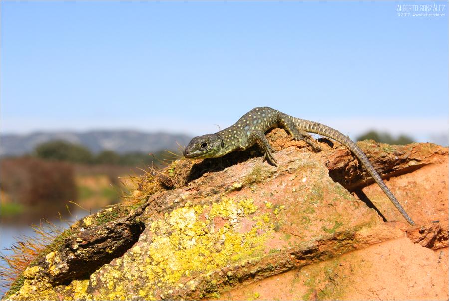 Timon lepidus lagarto ocelado juvenil asoleandose
