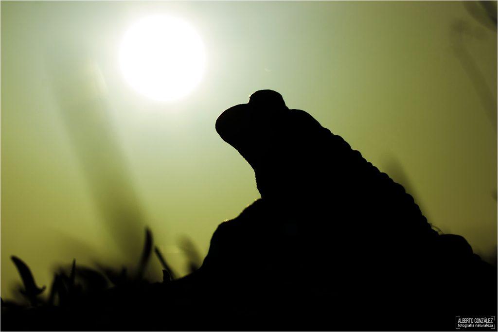 Sapo corredor (epidalea calamita) en el borde de una charca a la caída del sol.