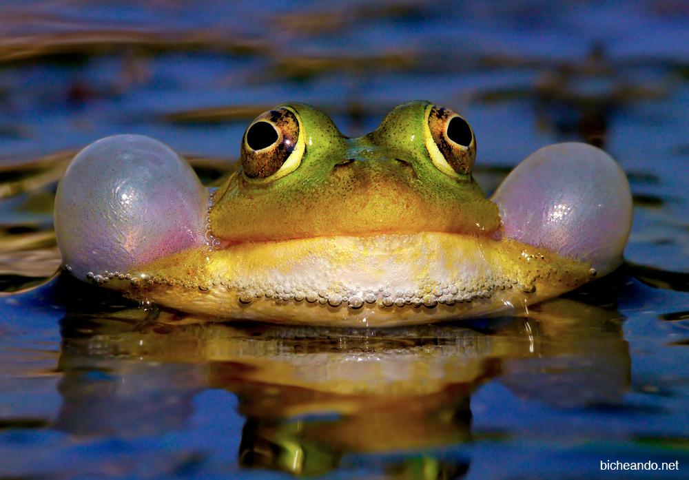 canto anfibio