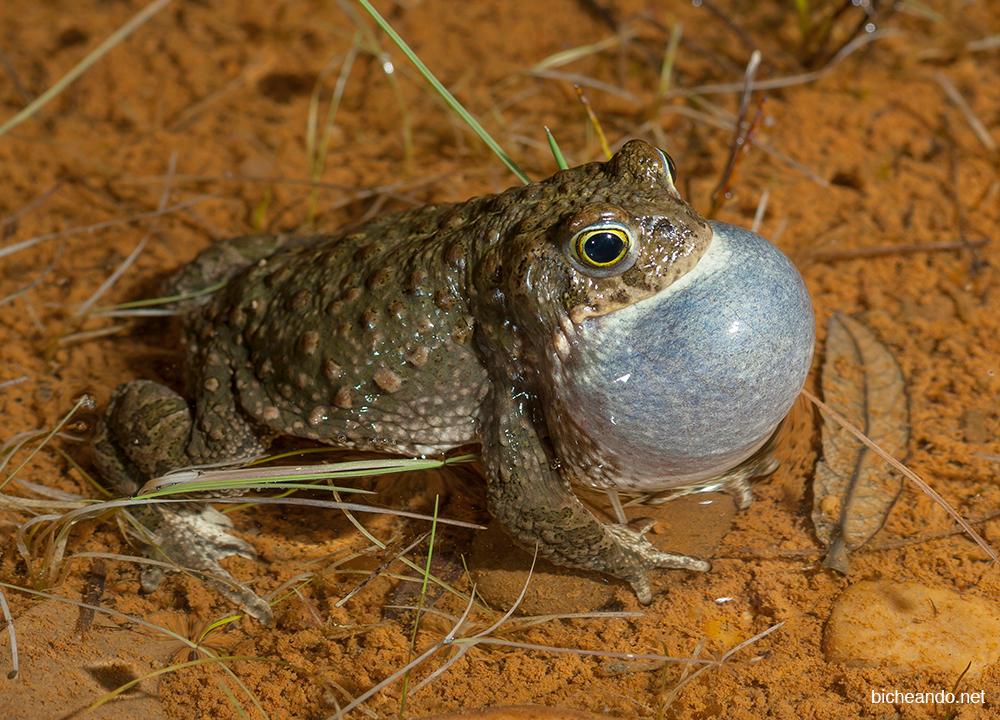 sapo corredor sonidos de anfibios
