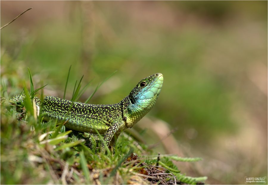 Lagarto verde occidental (Lacerta bilineata)