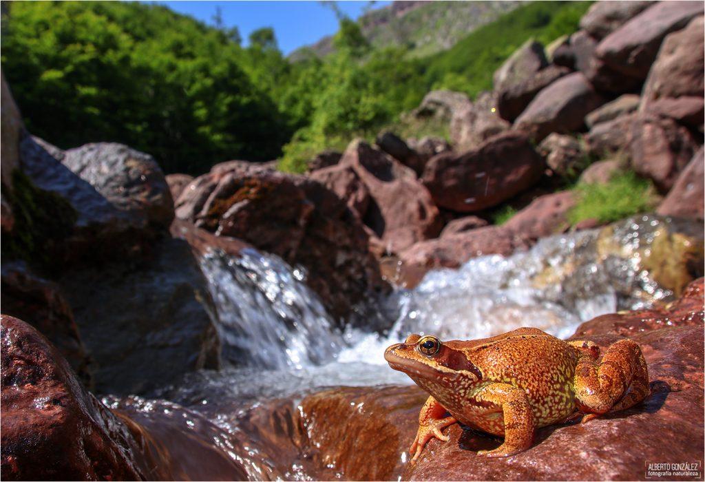 Rana bermeja (Rana temporaria) en el torrente de montaña...