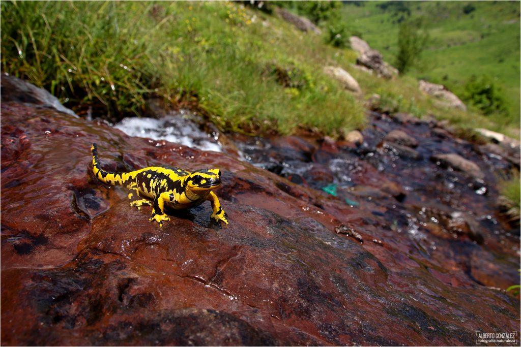 Salamandra común (S. s. fastuosa) -Valle de Guarrinza-