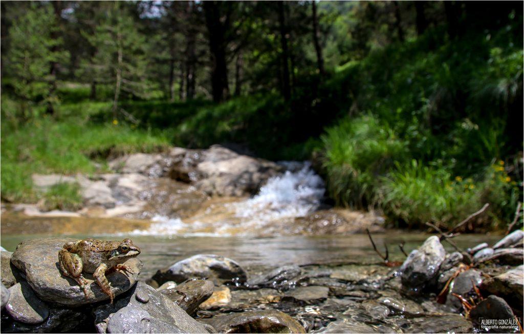 La rana pirenaica (Rana pyrenaica) en su hábitad....