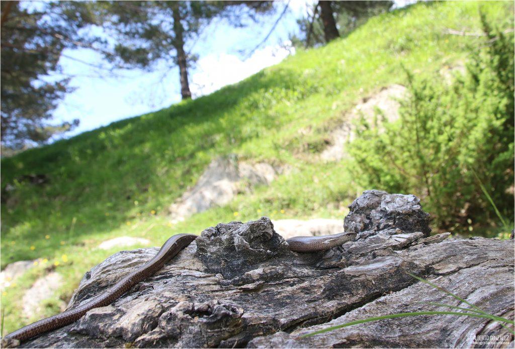 Lución (Anguis fragilis)