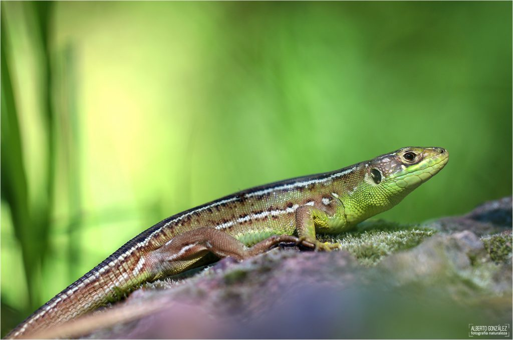 Subadulto de lagarto verde occidental (Lacerta bilineata)