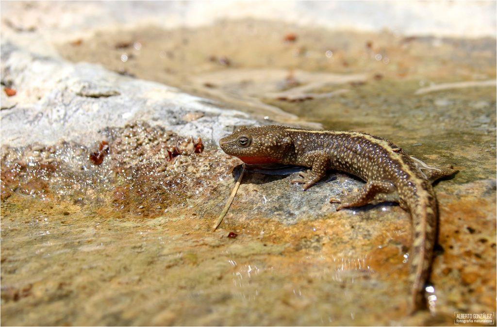 El tritón pirenaico (Calotriton asper