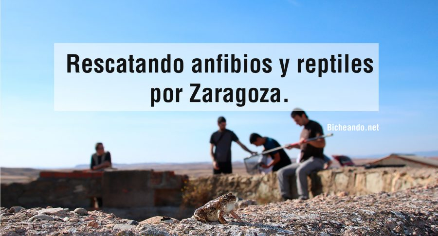 Rescatando-anfibios-y-reptilespor-Zaragoza
