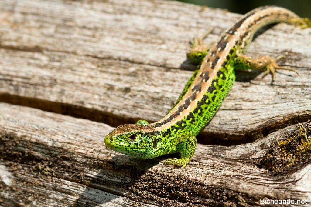 Macho adulto de lagarto ágil (lacerta agilis garzoni). Créditos propios.