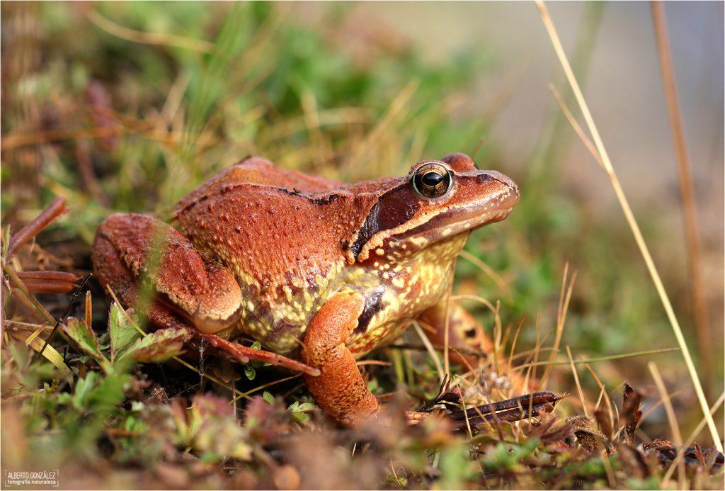 Rana bermeja (Rana temporaria)