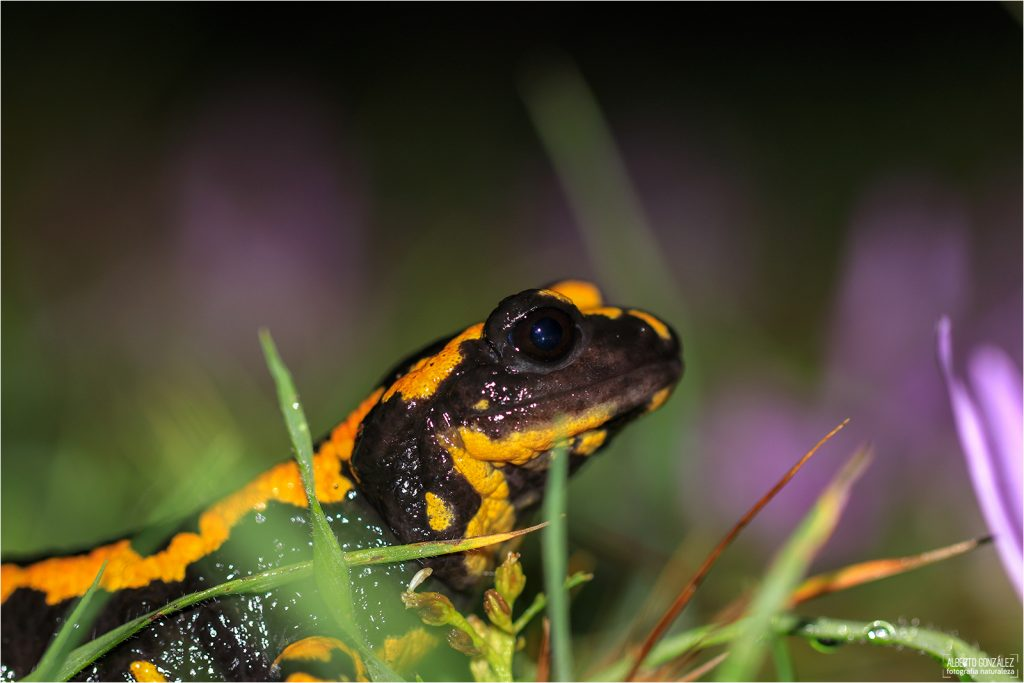 Salamandra común (Salamandra s. fastuosa/terrestris) Benasque