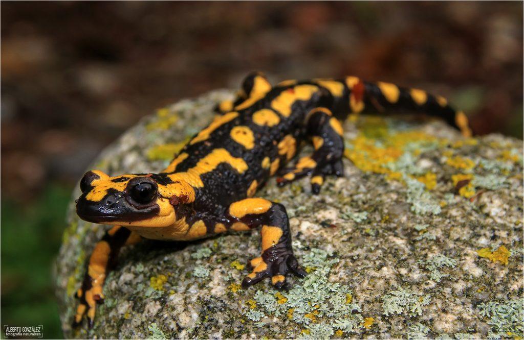 salamandra-terrestris-montseny-01