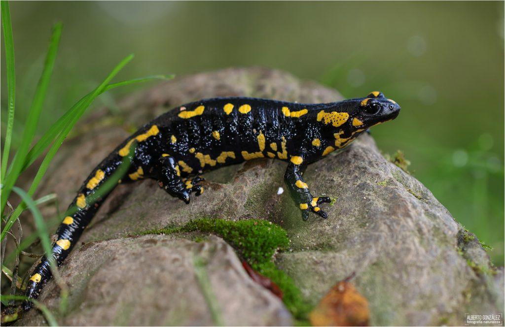 Salamandra s. terrestris. Parque natural del Montseny