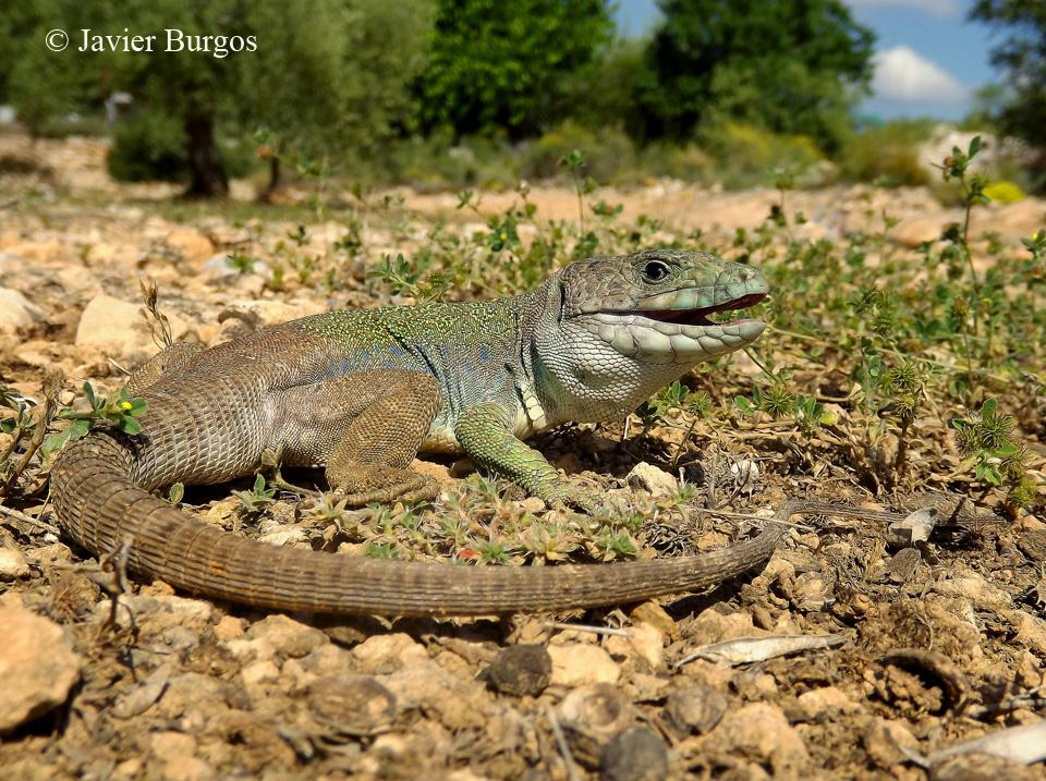 Adulto de lagarto bético (Timon lepidus)