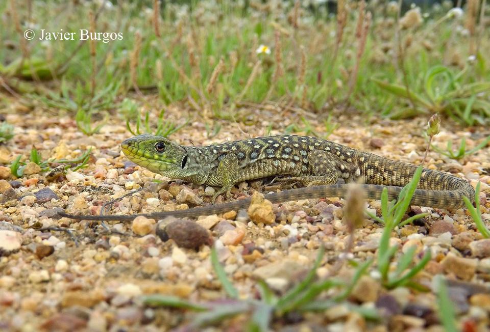 Juvenil de lagarto ocelado (Timon lepidus)