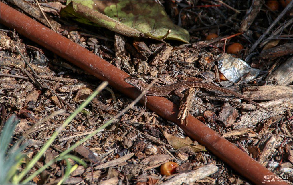 Hembra adulta de lagartija común italiana