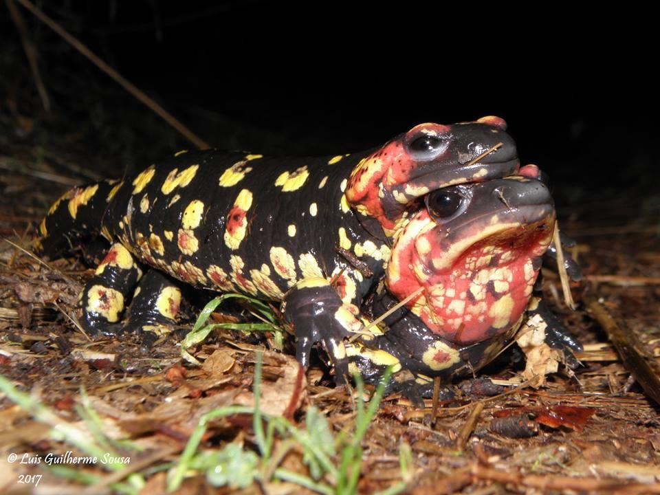 Salamandra salamandra gallaica. Amplexo. Créditos: Luis Guilherme Sousa