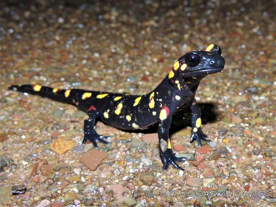 Salamandra salamandra morenica. Créditos: José Joaquín Santos Leal.