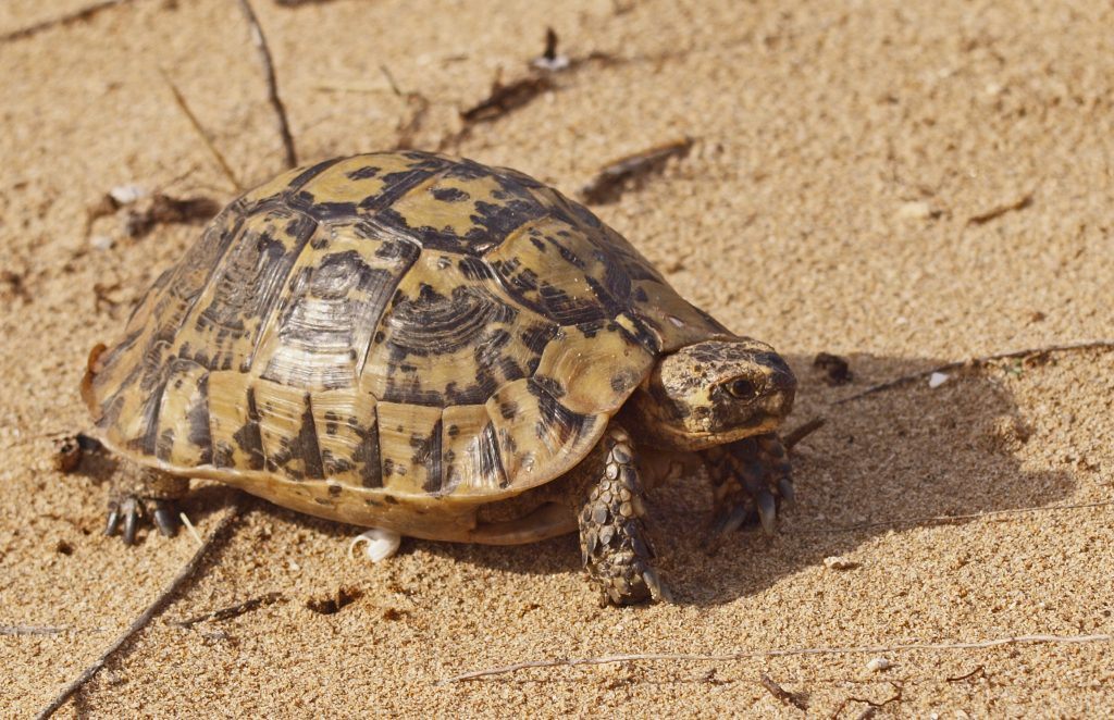 Tortuga Mora