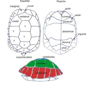 Disposición de las placas córneas en el caparazón de las tortuga terrestres ibéricas