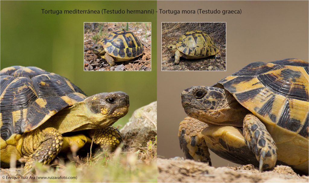 identificación tortuga mediterranea y tortuga mediterranea
