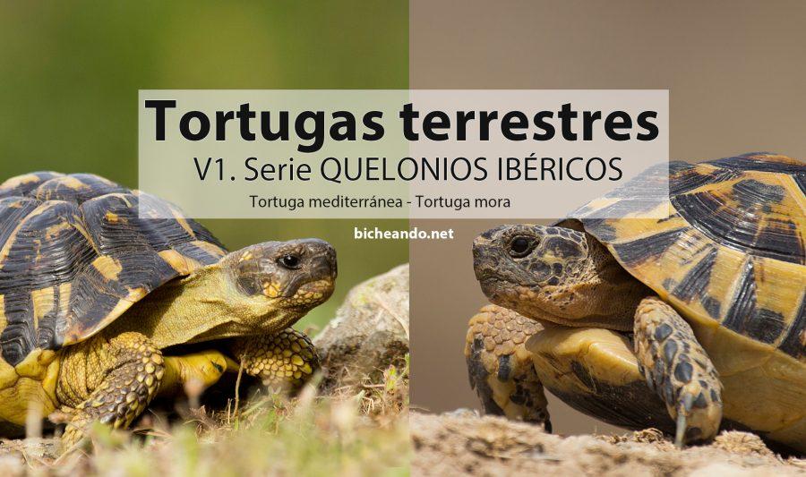 quelonios ibericos tortugas de tierra españa
