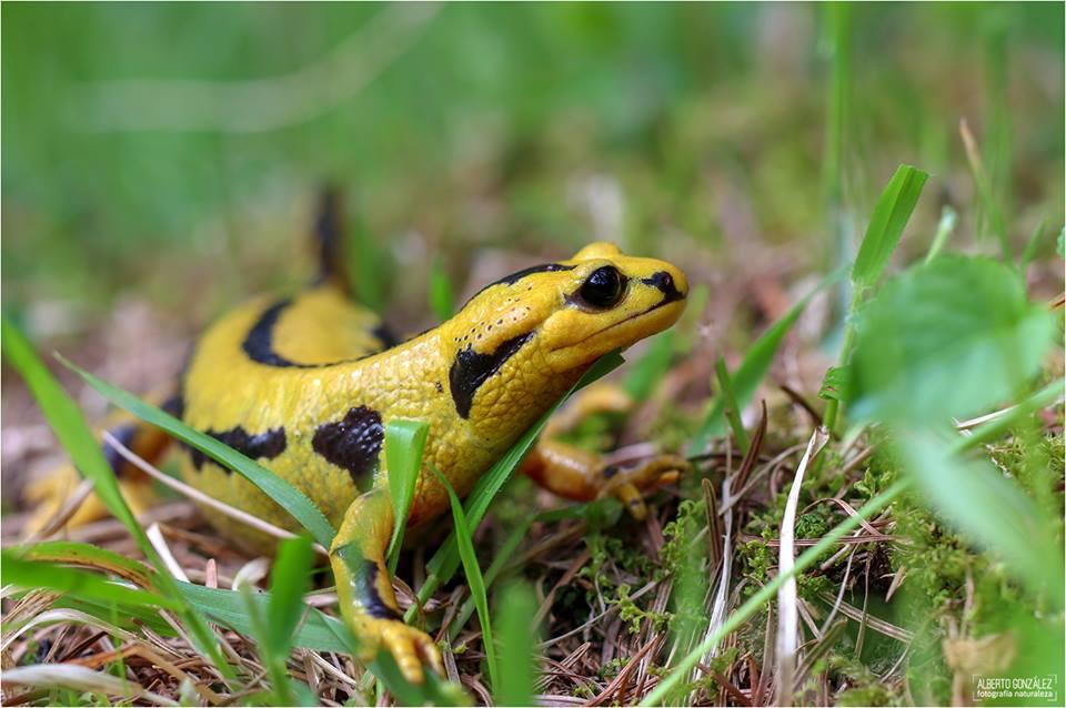 Salamandra s. fastuosa. Huesca. Créditos: Alberto González