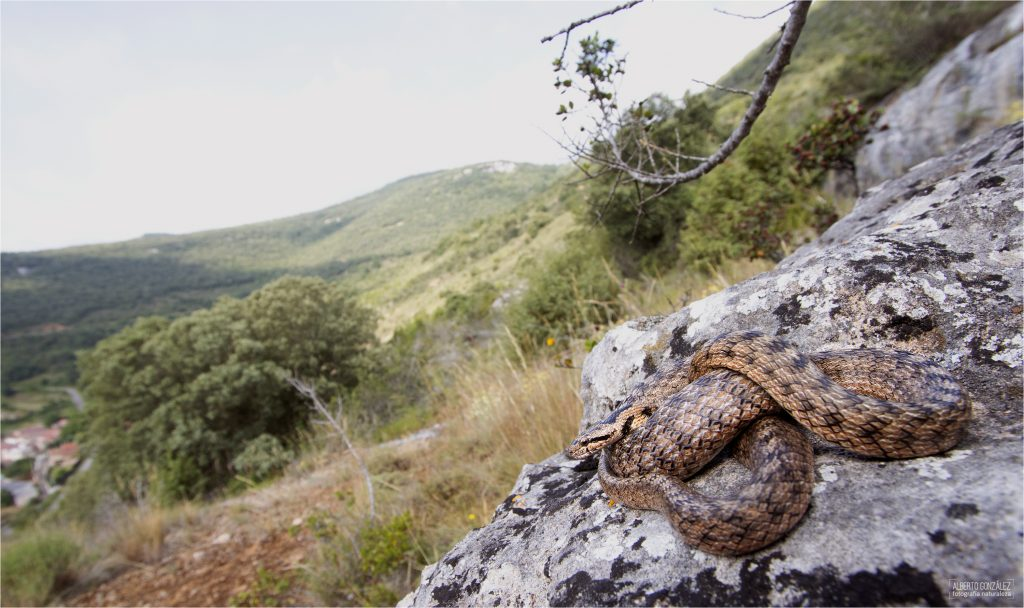 Culebra Lisa meridional (Coronella girondica)