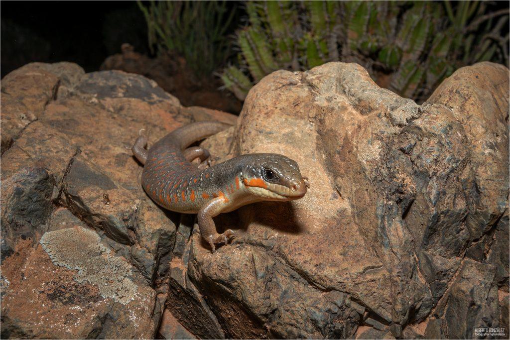 Bulán o escinco argelino (Eumeces algeriensis)