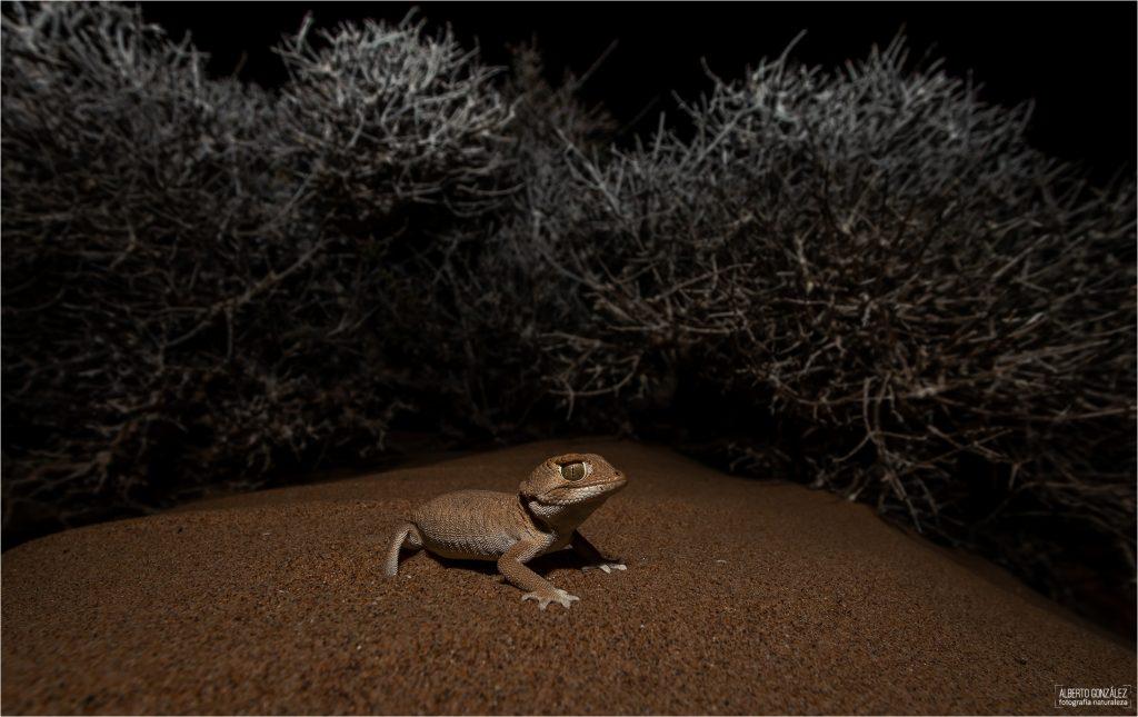 geckos de casco (Tarentola chazaliae)