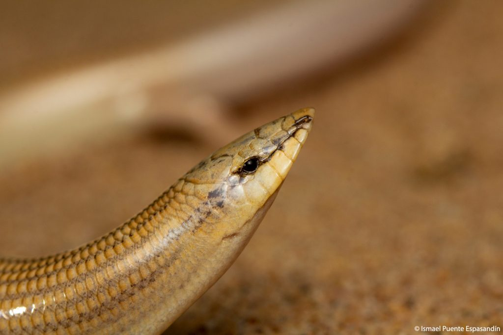 Eslizón de arena occidental (Chalcides sphenopsiformis)