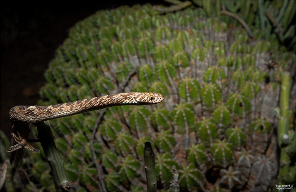 Culebra comedora de huevos del sahel (Dasypeltis sahelensis)