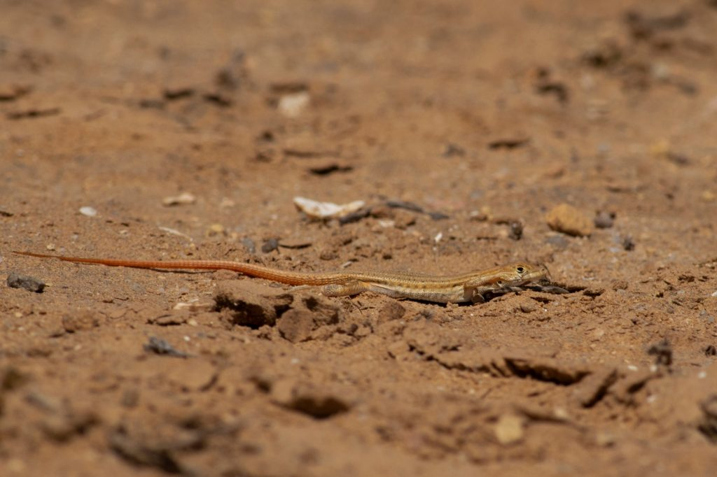 Lagartija rugosa Acanthodactylus boskianus