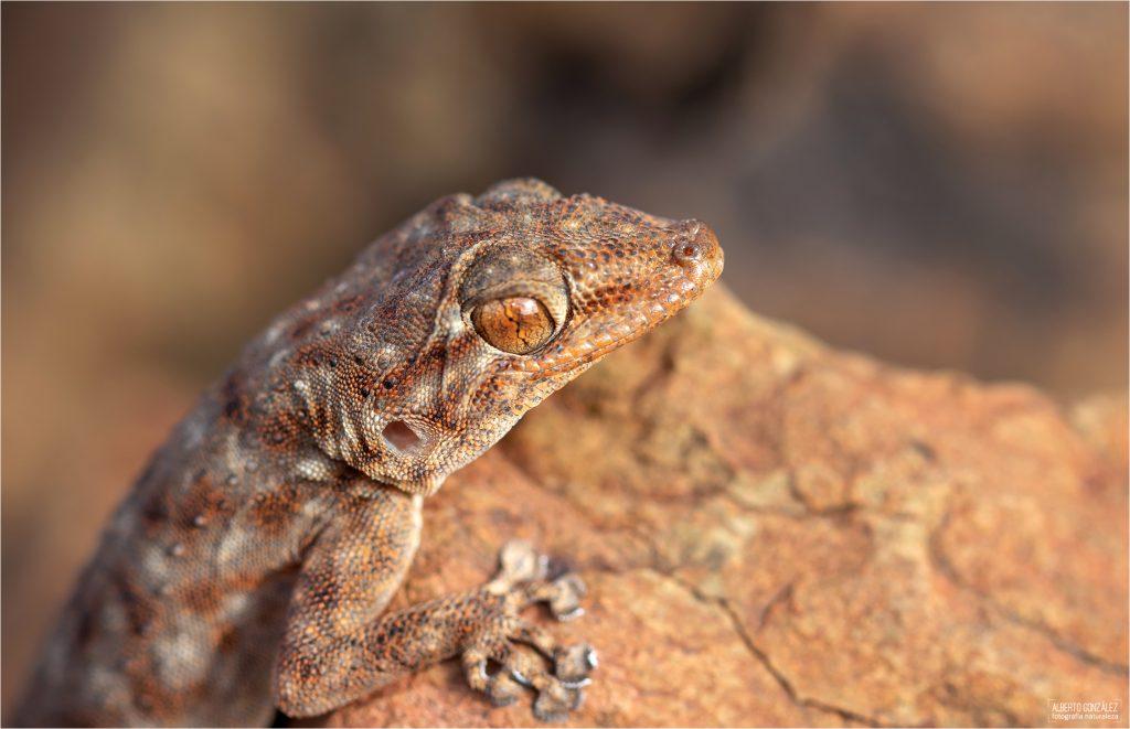 Ptyodactylus-oudri