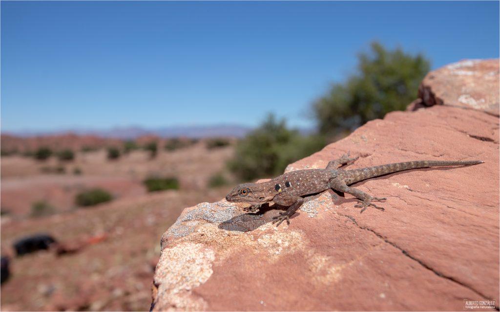 Gecko diurno moruno Quedenfeldtia moerens