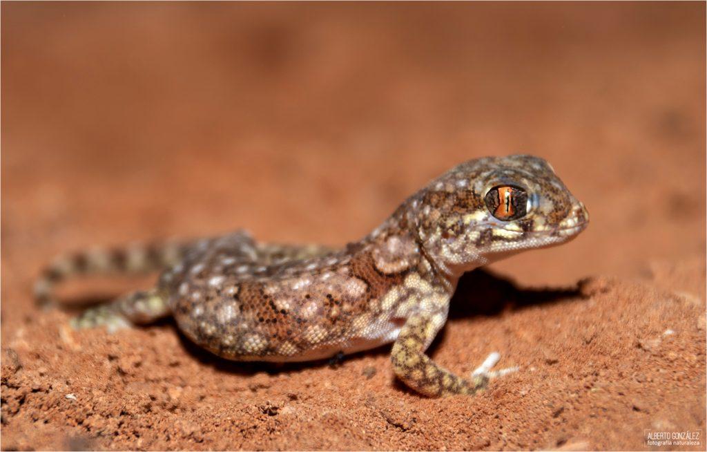 gecko elegante del norte (Stenodactylus mauritanicus)