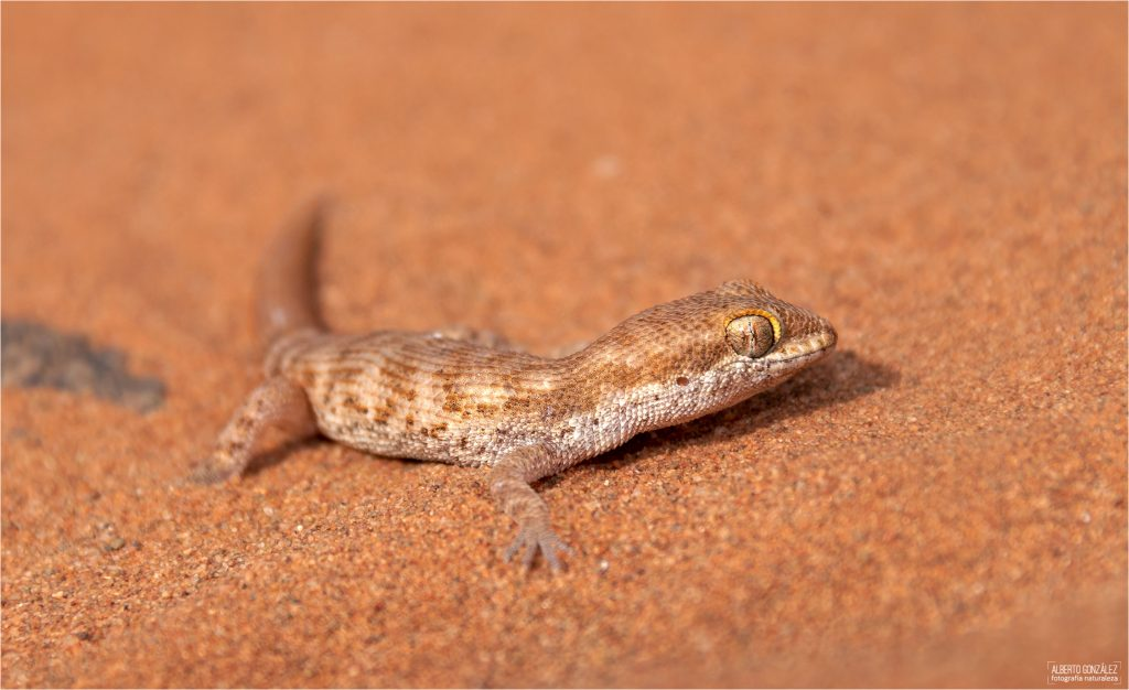 Tropiocolotes-algericus