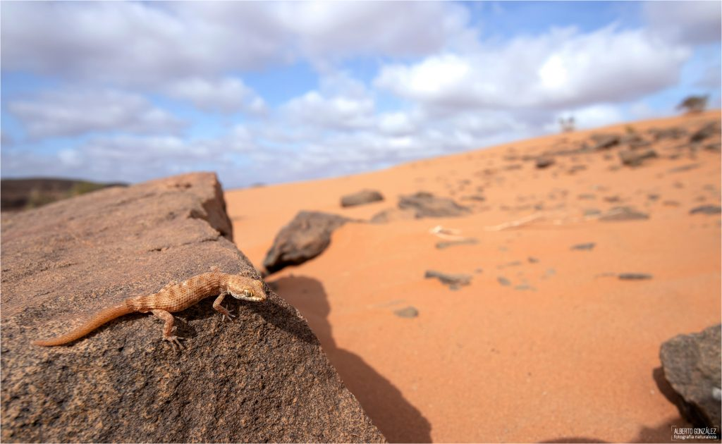 Tropiocolotes-algericus-habitat