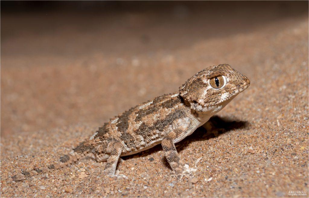 gecko de casco (Tarentola chazaliae)