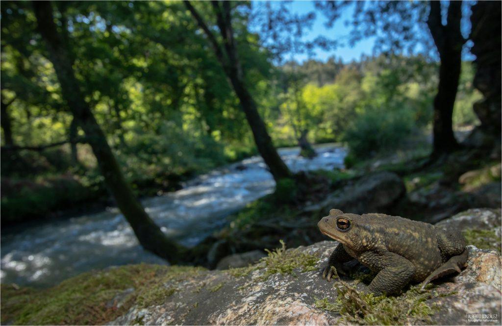 Sapo común (Bufo spinosus) en el río Ferreira.