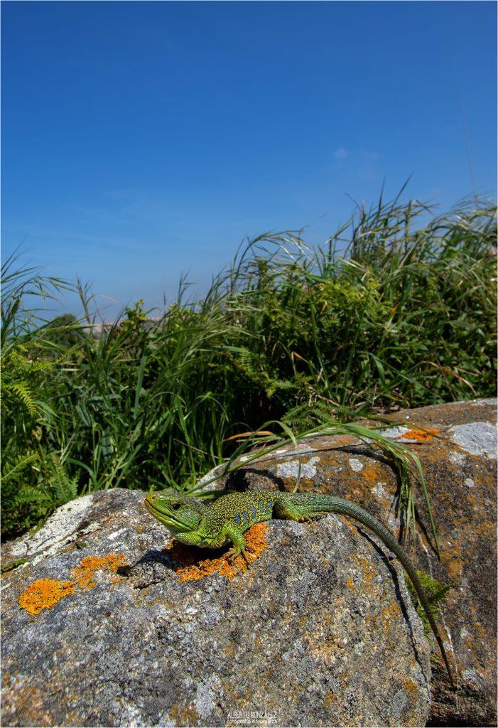 Hay buenas poblaciones de lagartos ocelados (Timon lepidus) en varias zonas de la costa de Oporto.