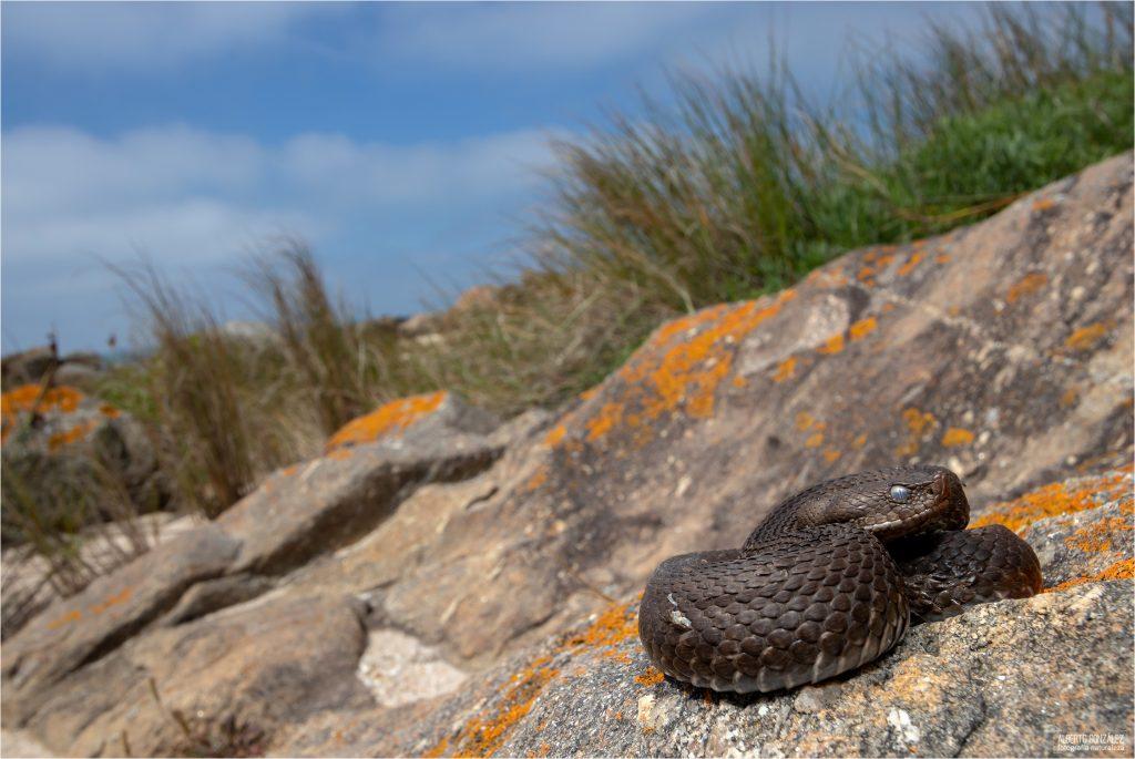 Víbora hocicuda (Vipera latastei) soleandose cerca de la playa.