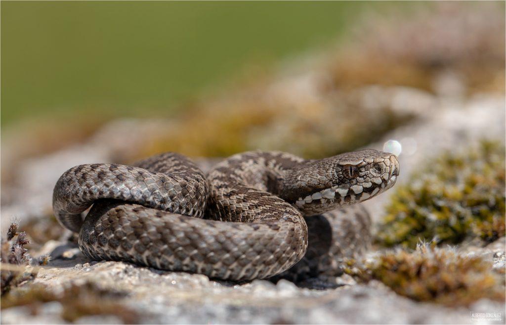 Ejemplar juvenil de víbora de Seoane o cantábrica (Vipera seoanei)