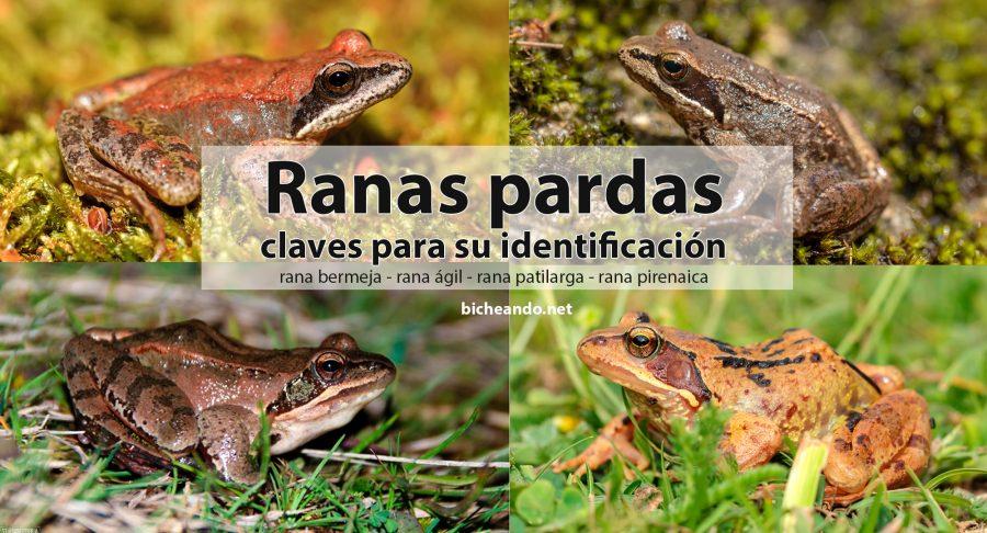 ranas pardas identificación diferenciacion